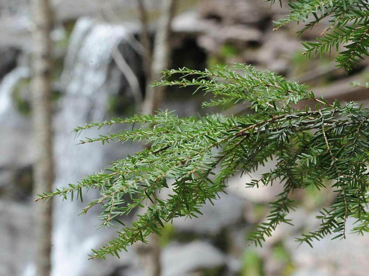 Hemlocks throughout the Northeast have been devastated for decades by the hemlock woolly adelgid an invasive, tiny insect that feeds on its sap. The early January cold snap seems to have killed off about 90 percent of the population in the state, scientists say.