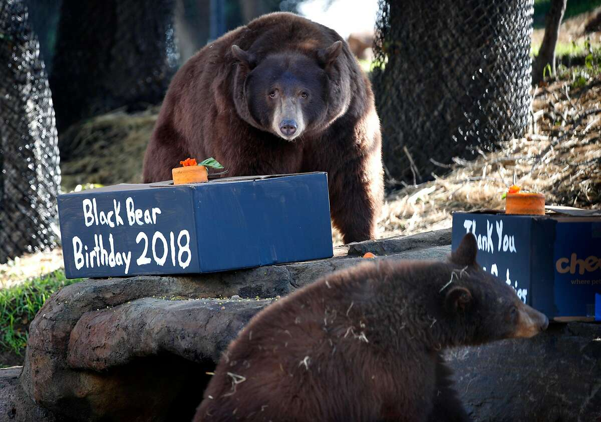 Mother Black Bear, (top) and one of her cubs celebrate. A mother Black Bear and her three cubs rescued last summer have a newly built, 1.5 acre habitat at the Oakland Zoo, as seen on Friday Jan. 26, 2018, in Oakland, Calif. The young bears were celebrating their first birthday