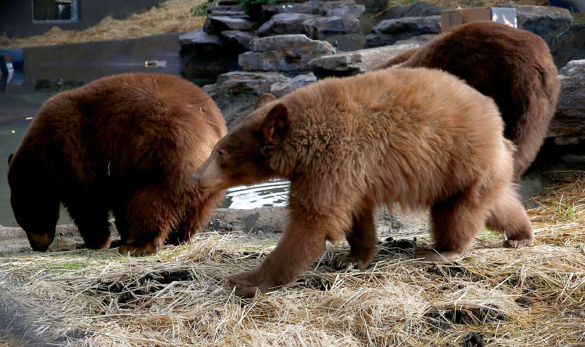The three young cubs inside their habitat. A mother Black Bear and her three cubs rescued last summer have a newly built, 1.5 acre habitat at the Oakland Zoo, as seen on Friday Jan. 26, 2018, in Oakland, Calif. The young bears were celebrating their first birthday