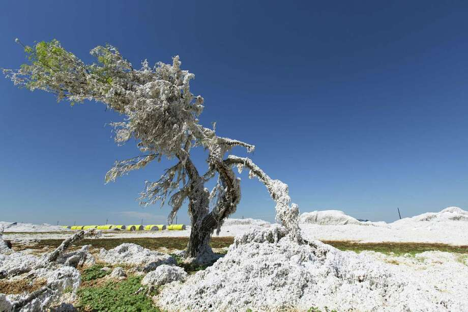 Cotton blown loose by Hurricane Harvey winds from modules near the Bayside-Richardson Co-Op Gin in Woodsboro look like snow coating a tree Thursday Sept. 7, 2017. Wind and flood waters damaged much of the area's cotton crop in a year that many people in the cotton industry said was bordering on a record crop. Photo: William Luther, Staff / San Antonio Express-News / © 2017 San Antonio Express-News