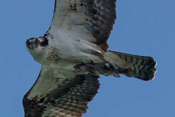 An osprey with a fresh-caught trout in its talons was captured in flight in a photograph at Los Vaqueros Reservoir