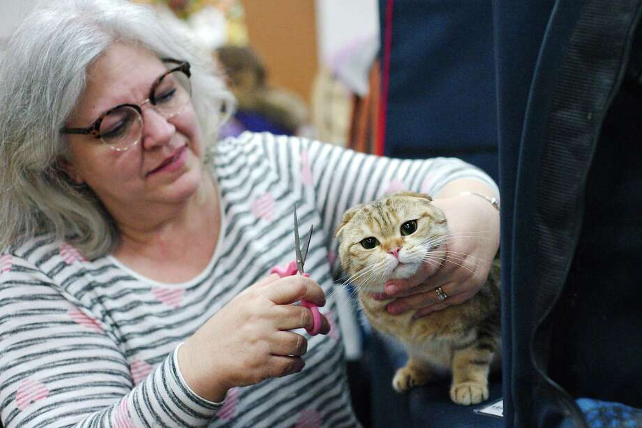 A cat named Geillis Mackenzie gets some last-minute attention from  Starla Harrison during the recent Felines Football and Fun! cat show at the Jimmy Burke Activity Center. Photo: Kirk Sides / © 2018 Kirk Sides / Houston Chronicle