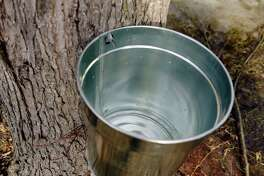 Sap drips out of a maple tree, seen here during the See How it Works Sunday event at Riverside Maple Farms on Sunday, Jan. 28, 2018, in Glenville, N.Y.  The maple farm in conjunction with Wolf Hollow Brewing Company, just down the road, held the event to give people a look at how the maple farm and the brewing house operate to produce their products.    (Paul Buckowski/Times Union)
