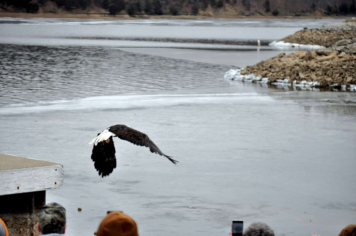 Martha, a bald eagle, took to the skies, Jan. 21 after months of rehabilitation for injuries she received in a fight. Martha was released at Lake Lou Yaeger in Litchfield as dozens of onlookers rooted her on. The hope is that Martha will reunite with George, the bald eagle who has been her nesting partner.