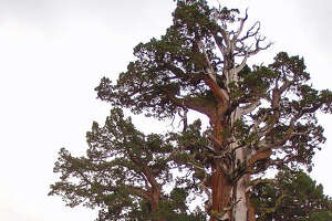 Bennett Juniper ,Stanislaus National Forest, Tuolomne County  About Bennett Juniper: The tree is named after naturalist Clarence Bennett, who began his study of the western juniper in the early 1890s. The gnarled and weather-worn tree is more than 80 feet tall and is located in Tuolumne County in the Stanislaus National Forest in California's Sierra Nevada. This extraordinary tree is under Save the Redwoods' protection in California's Stanislaus National Forest because The Nature Conservancy conveyed it and the surrounding buffering land to us in 1987. Before then, rancher JW Martin Sr. protected the tree until donating it and the surrounding three acres in 1978 to The Nature Conservancy.