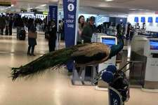 At Newark Airport, a United passenger attempted to board the plane with a peacock she said was an emotional support animal.