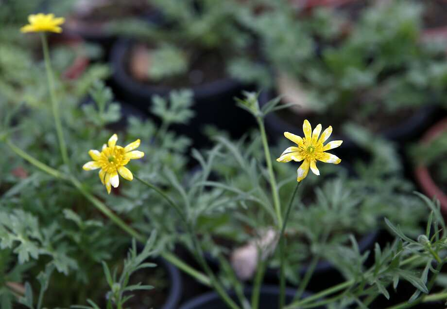 California Buttercup at Candlestick Point Native Plant Nursery in San Francisco, California, on Tuesday, Jan. 12, 2016. Photo: Connor Radnovich, The Chronicle
