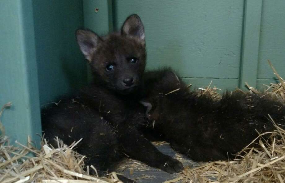 Connecticut's Beardsley Zoo reports that three critically-endangered maned wolf pups were born there Dec. 27, 2017 in a heated enclosure. Photos courtesy of the Beardsley Zoo. Photo: Contributed / Contributed