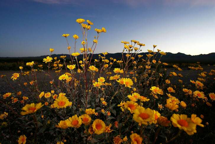 AMBOY, CA - FEBRUARY 29:  Desert sunflowers begin the annual desert bloom before sunrise near Amboy Crater National Natural Landmark as a near-normal rain season follows a near-record dry season that lead to a wave of massive wildfires across southern California in 2007, on February 29, 2008 near Amboy, California. Weather experts are saying that it would take years of above-normal rainfall to refill the shrinking reservoirs of the West and to recover from a drought that has plagued western states since the end of the 1990s. Very few wildflowers were seen in California deserts in 2007. Amboy Crater is a symmetrically-shaped cinder cone near Mojave National Preserve in one of the youngest volcanic fields in the nation. The last eruption period occurred 500 years ago.  (Photo by David McNew/Getty Images)