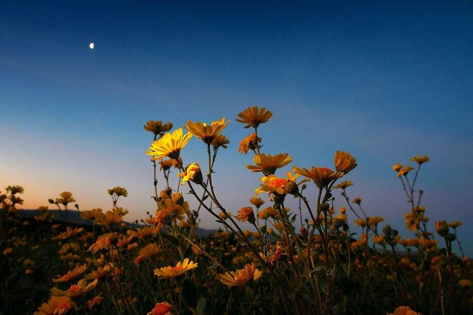 Desert sunflowers begin the annual desert bloom before sunrise near Amboy Crater National Natural Landmark. Photo: David McNew, Getty Images