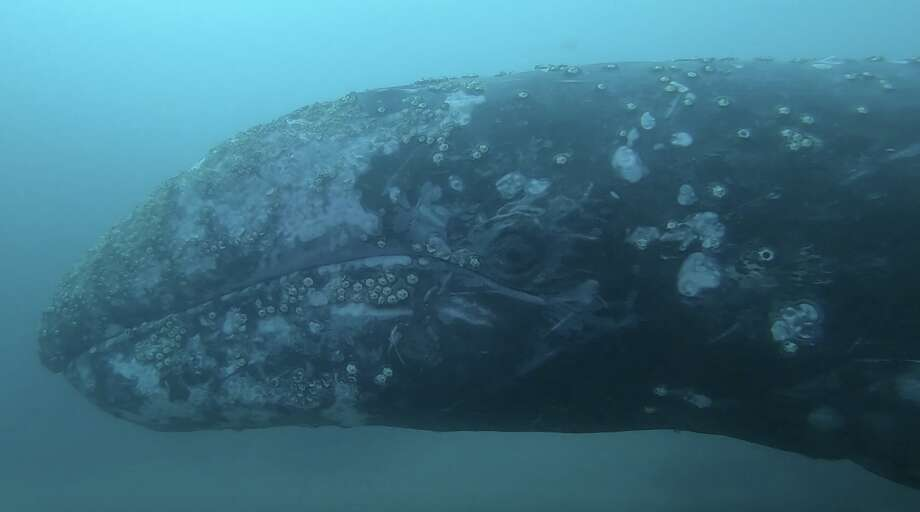 A screenshot from the video Ben Laboy took shows how close the gray whale got to the divers.