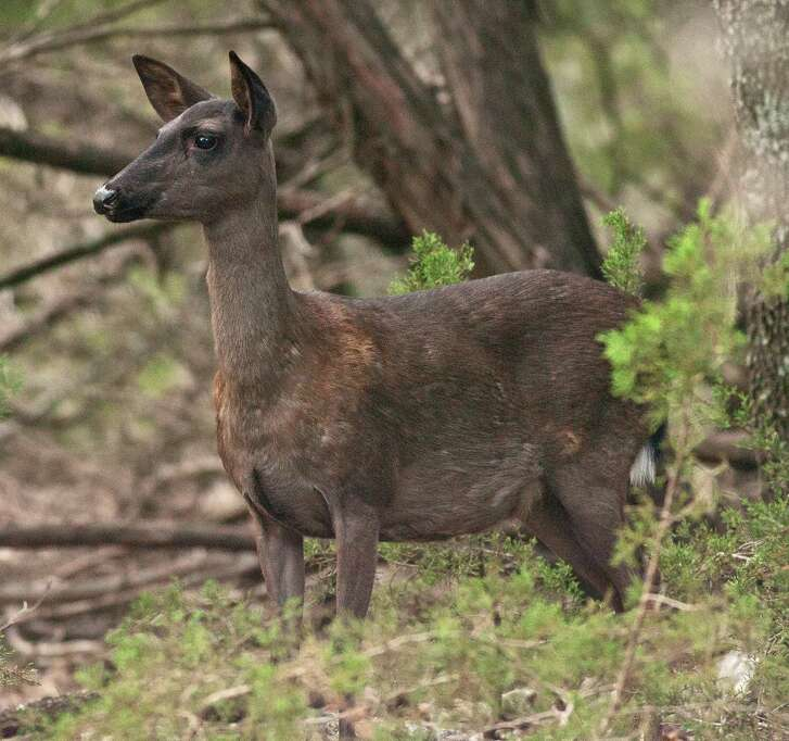 Blending into the darkened surroundings in a thick stand of cedar, Chupi, a melanistic doe born in 2009, gave birth to regular-colored fawns until last year.