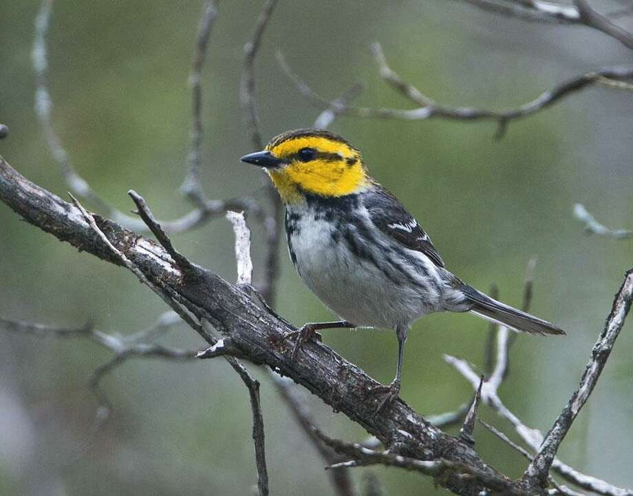 Event: Texas Songbird Festival in Lago Vista  For Travel Section/April festivals Pictured: Golden-cheeked warbler  Cutline: The Texas Songbird Festival will offer tours into the Balcones Canyonlands National Wildlife Refuge and opportunities to view the endangered golden-cheeked warbler and black-capped vireo in their natural habitat.  Photo credit: Courtesy of John Ingram.  HOUCHRON CAPTION (03/27/2005) SECTRAVEL COLOR:    The endangered golden-cheeked warbler.