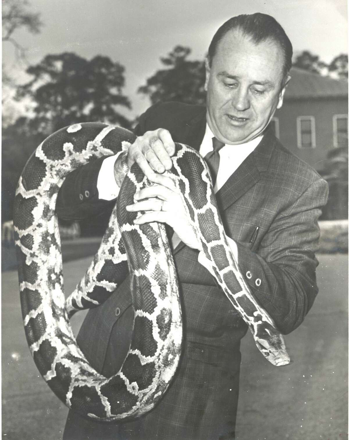 1970: The traveling python of River Oaks, a fugitive from the suitcase of Los Angeles Zoo curator Bill Turner, is clutched here by John Werler, curator of the Hermann Park Zoo. Werler doesn't want the 9-foot snake - Turner had already tried to trade it to the Houston Zoo-- but he has agreed to keep it until his owner takes him home. Police were dubious about taking it to headquarters when they discovered it wandering on Argonne St. on the edge of River Oaks. The snake escaped the suitcase when a burglar robbed the car in which it was being transported. Some burglar got a real surprise.