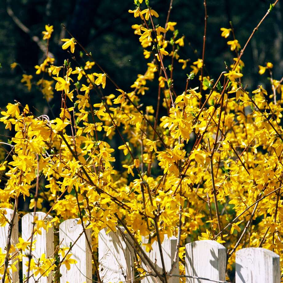 Forsythias are pretty forgiving and probably ought to be more widely planted. Photo: Courtesy Photo