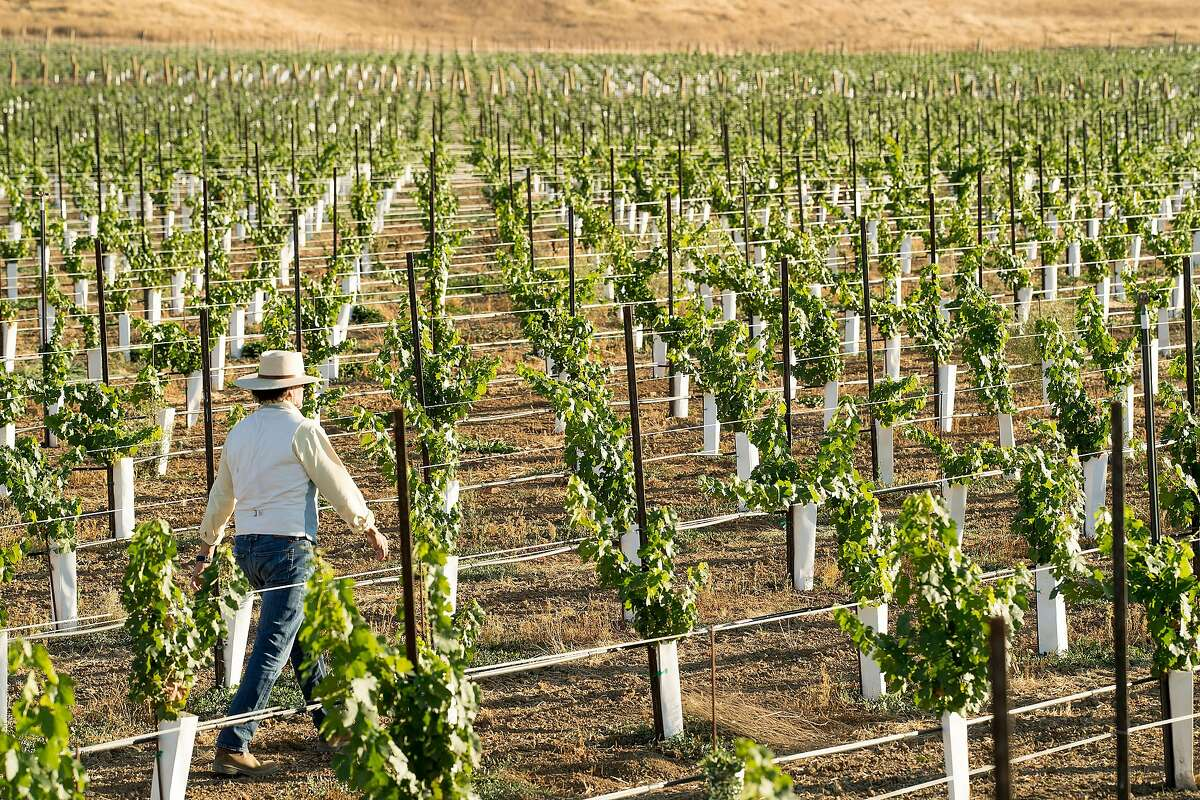 Xavier Cervantes checks on the grapes growing in one of the vineyards on his Pope Valley ranch. He is producing Cabernet Sauvignon.