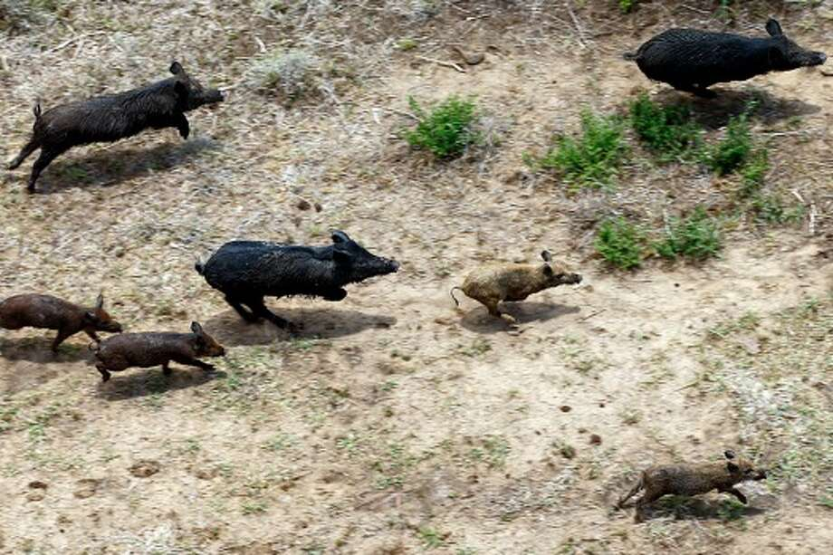 Feral hogs run through a farm in Atascosa County, Thursday, June 23, 2011. Joseph Meyers, of Flying J Services, is hired by farmers to eliminate the feral hog population and hunts them from his helicopter (Photo: Jerry Lara, San Antonio Express-News). Photo: Jerry Lara / SAN ANTONIO EXPRESS-NEWS