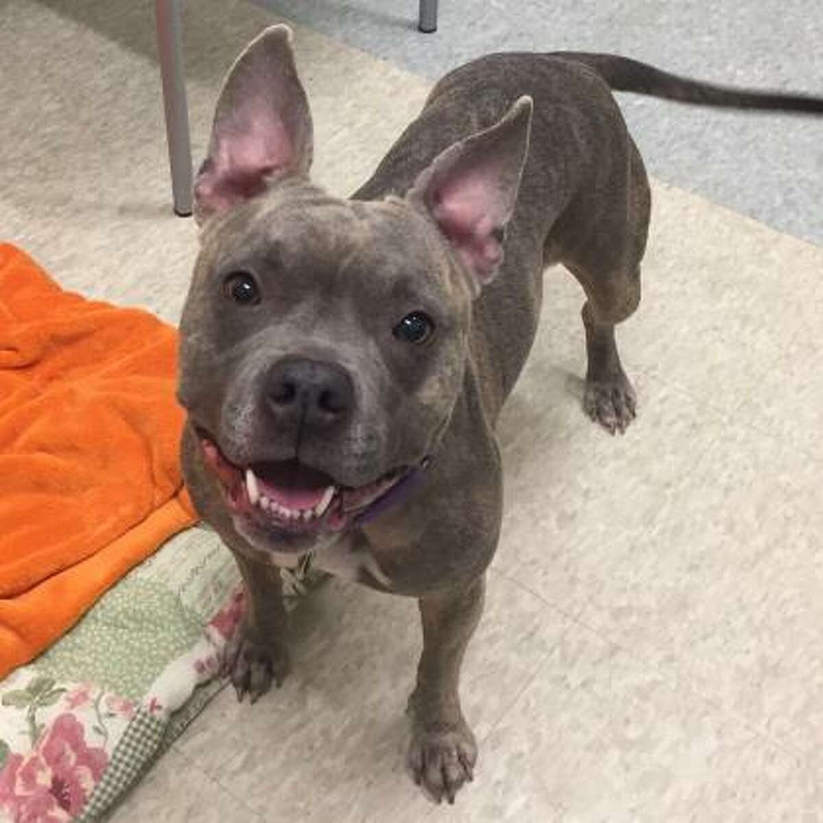 Bella Rose is a 3-year-old female pit bull terrier mix available for adoption at the Menands adoption center. Here is her biography: