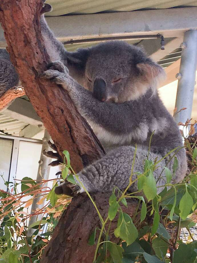Pictured is a koala at the Taronga Zoo on Sunday, Jan. 21, 2018. United Airlines now offers a nonstop flight from Houston to Sydney, Australia. Photo: Andrea Rumbaugh / Houston Chronicle