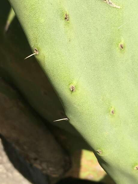 Spineless cacti have started to grow spines Photo: Robert Kourik, With Permission To The San Francisco Chronicle