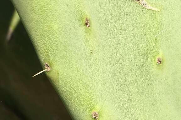 Spineless cacti have started to grow spines