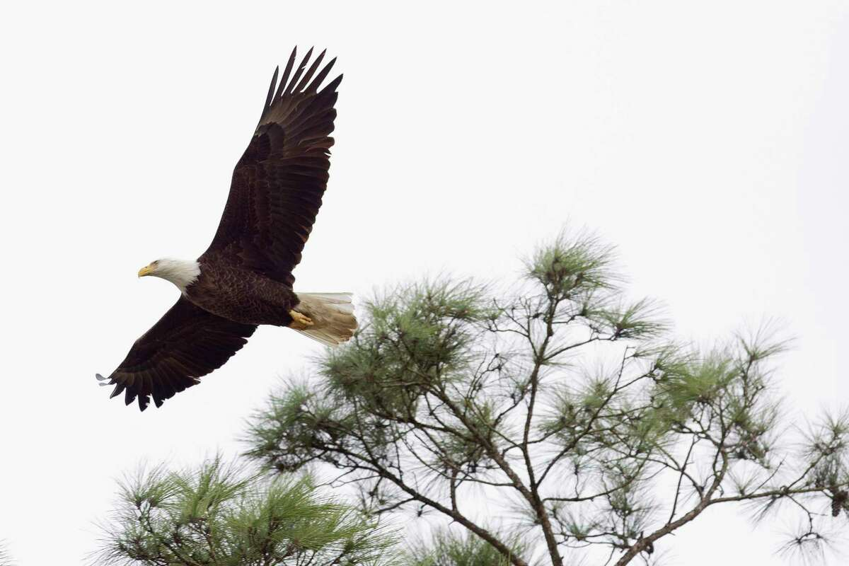 A bald eagle flies seen near its nest by Lake Woodlands, Thursday, Feb. 1, 2018, in The Woodlands. Two bald eagles have nested near The Woodlands United Methodist Church since 2000.