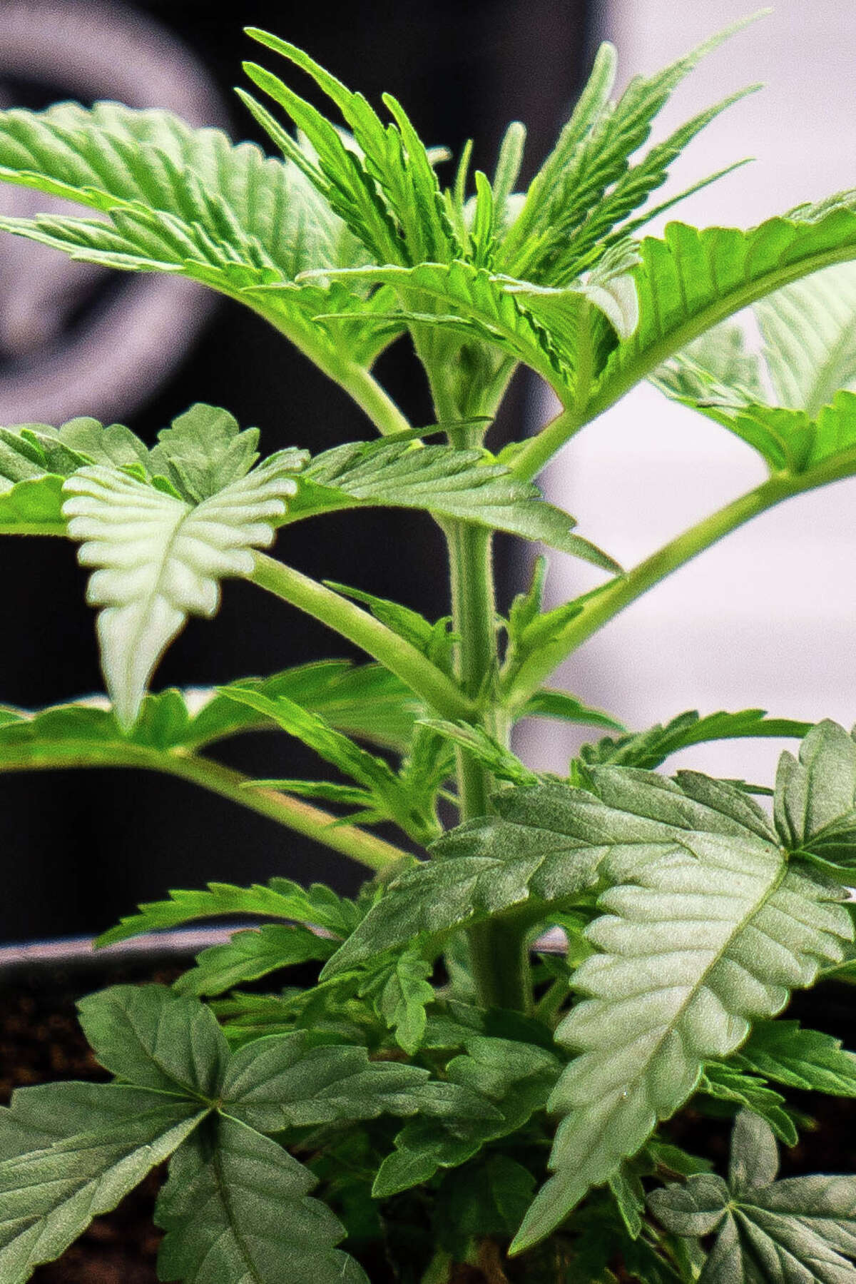 The first crop of legal medical marijuana in Texas is growing in the state, with qualifying patients able to purchase prescription orders this month.