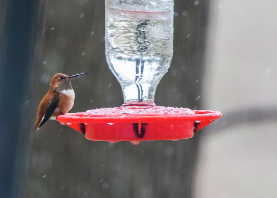 A rufous hummingbird attempts to get sugar water at a frozen feeder during the recent cold weather. Photo: Kathy_Adams_Clark / Kathy Adams Clark/KAC Productions