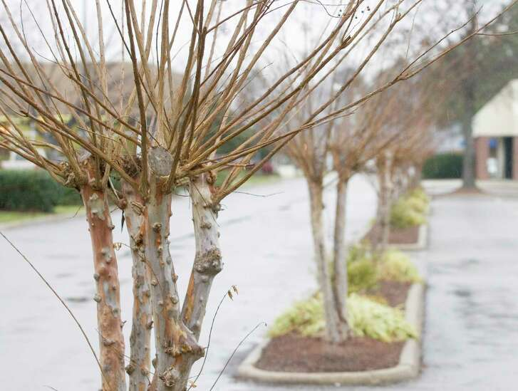 An improperly pruned crape myrtle produces a proliferation of thin stems that are weakly attached to the tree.