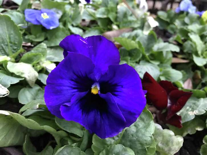 Pansies are a winter annual that won't survive a Houston summer, but they can handle hard freezes. Any that you plant now will likely poop out by mid-April or late May, depending on the temperatures.