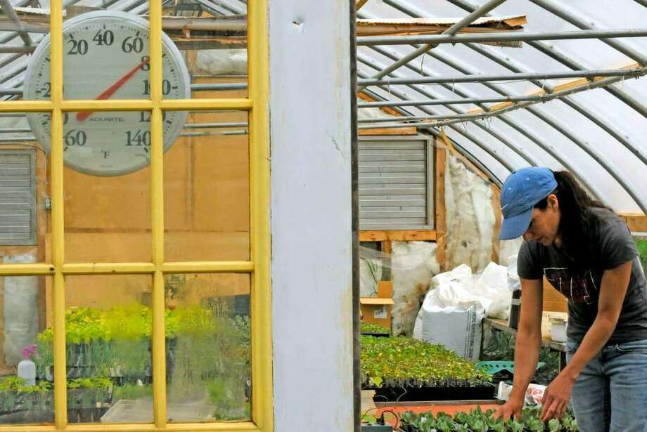 Pam McSweeney tends to tomato plants in the greenhouse at her Eight Mile Creek Farm in in Westerlo. ( Michael P. Farrell / Times Union ) Photo: MICHAEL P. FARRELL