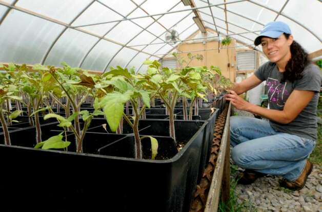 Farmer Pam McSweeney tends to tomatoe plants in the greenhouse at her Eight Mile Creek Farm in in Westerlo.( Michael P. Farrell / Times Union ) Photo: MICHAEL P. FARRELL