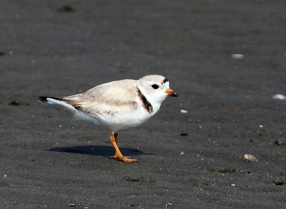A Piping Plover on the beach at Milford Point in Milford, Connecticut Photo: Chris Bosak / Hearst Connecticut Media / The News-Times