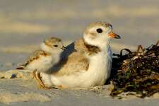 photo courtesy of Jim Fenton The Piping Plover is one of many endangered birds that have been seen in the Important Bird Area (IBA) that straddles the coast of Stratford and Bridgeport. 2008