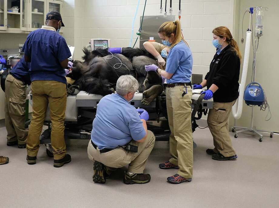Members of the Houston Zoo vet and primate team work on Ajari, the youngest western lowland male gorilla, at the zoo during a routine physical on  Friday, Feb. 2, 2018. Photo: Elizabeth Conley, Houston Chronicle / © 2018 Houston Chronicle