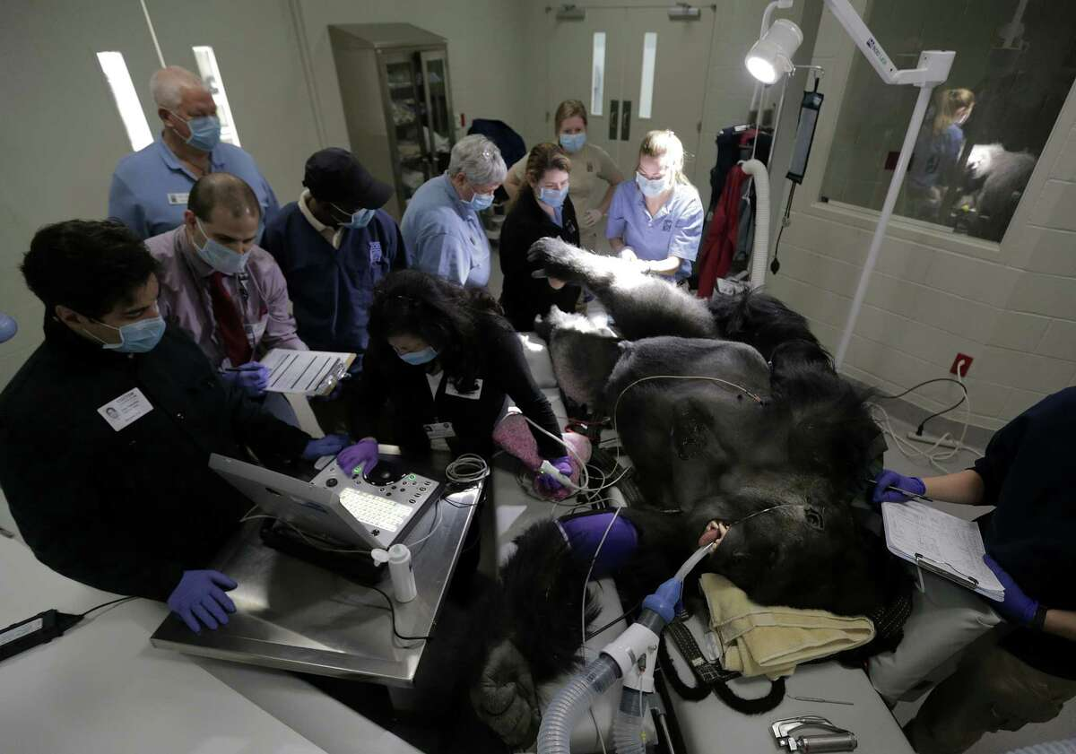 Members of the Houston Zoo vet and primate team work on Ajari, the youngest western lowland male gorilla, at the zoo during a routine physical on Friday, Feb. 2, 2018.