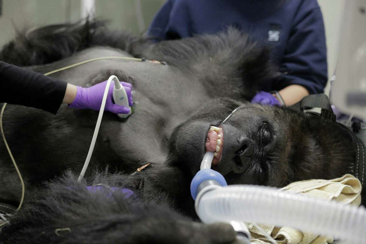 PHOTOS: Ajari gets a physical at the Houston Zoo Ajari, the youngest western lowland male gorilla, is anesthetized as he has an ultrasound performed on his heart at the zoo during a routine physical on Friday, Feb. 2, 2018. See more photos from Ajari's day at the doctor...