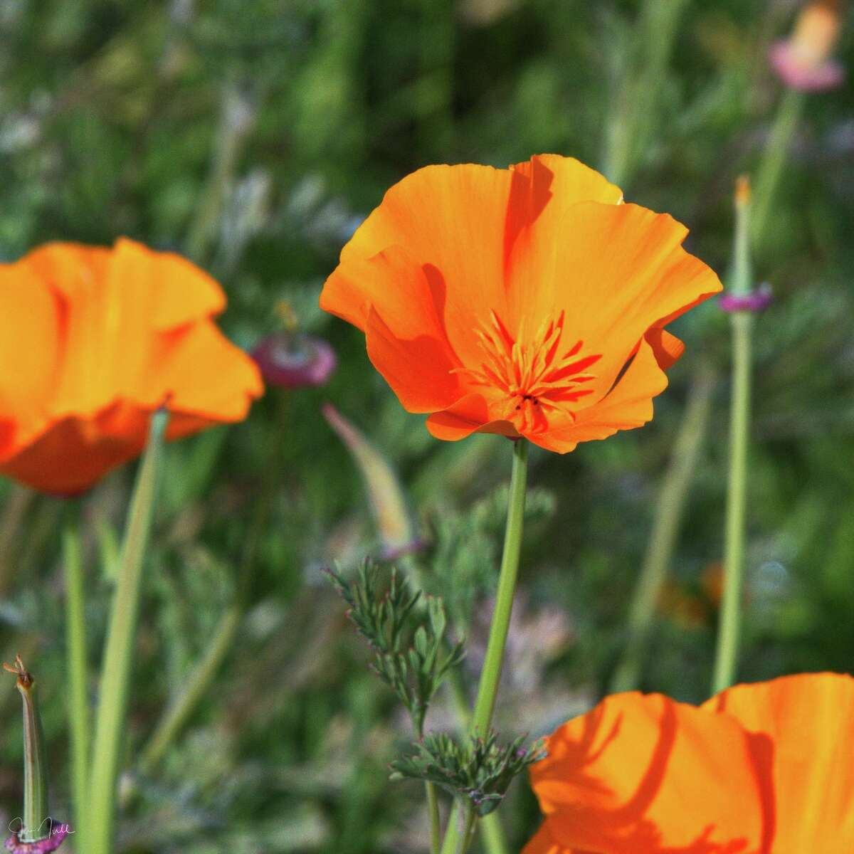 """""""First poppies of the season, an indicator of the uncharacteristically warm, and unfortunately dry, California weather,"""" meteorologist Jan Null of Golden Gate Weather Services wrote on Twitter when he shared this photo on Feb. 2."""