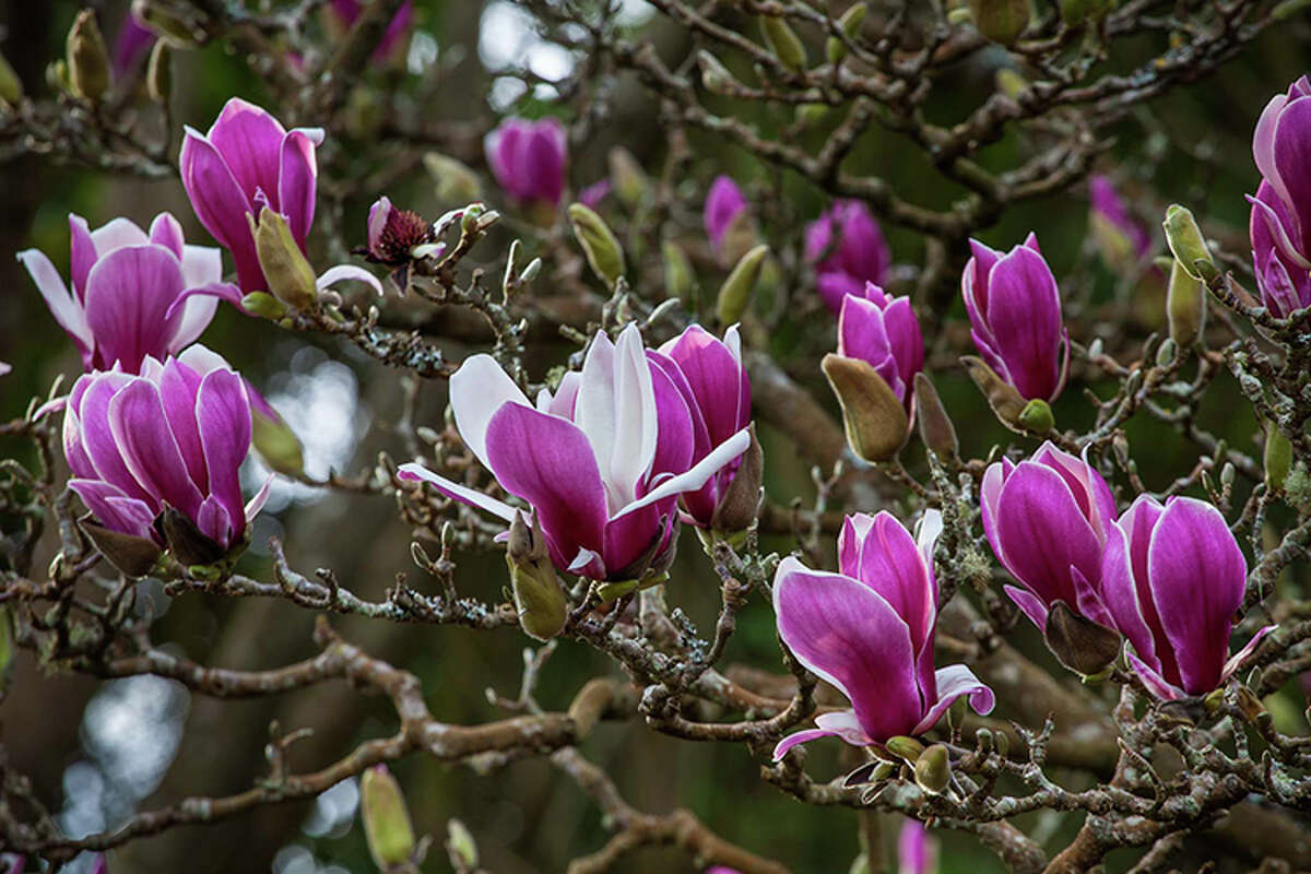 The magnolia trees are in full bloom in the San Francisco Botanical Garden in February 2018. (Photo: magnolia soulangeana)