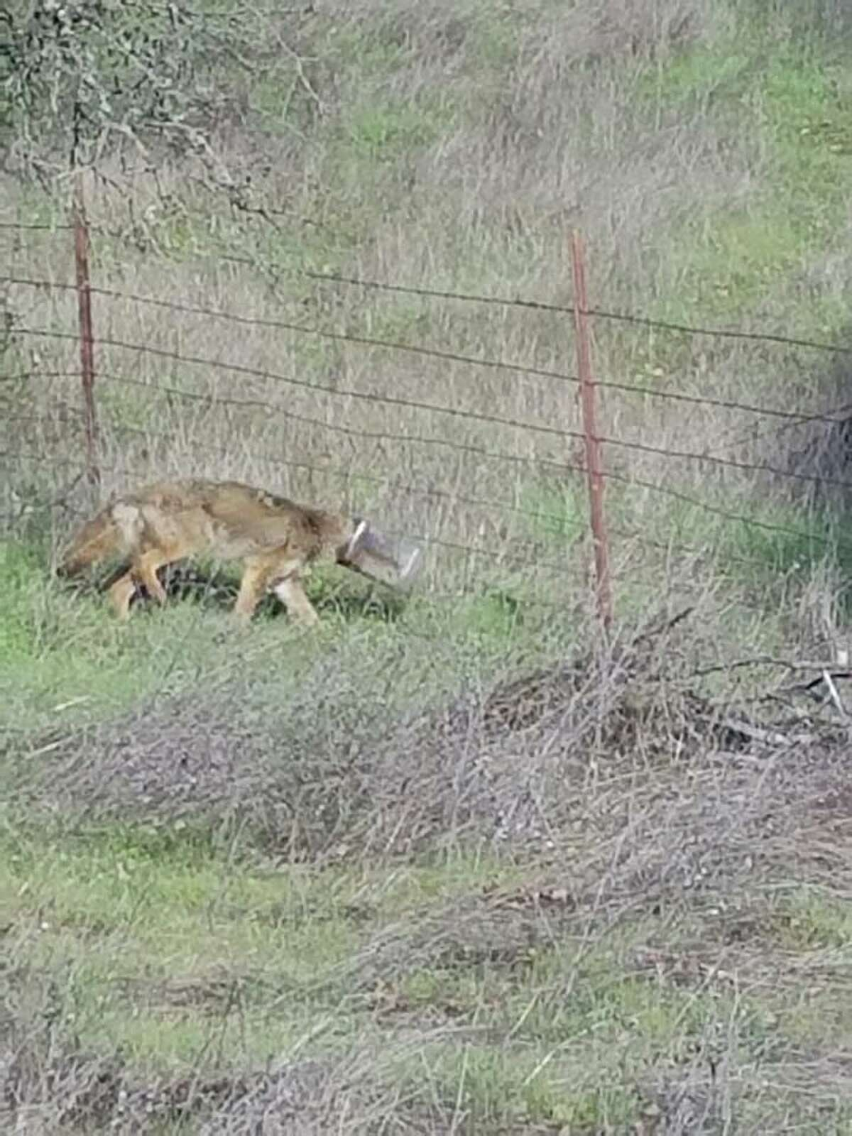 The coyote was first spotted with a plastic container over her head the week of Jan. 22, 2018.