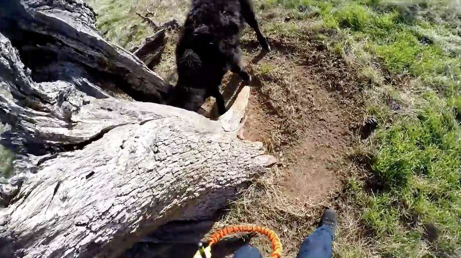 A screenshot from the video shows the calf's head stuck in a tree. The air crew members were able to break the stump enough so the calf could wiggle loose. Photo: Contra Costa Sheriffs Department