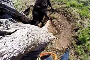 A screenshot from the video shows the calf's head stuck in a tree. The air crew members were able to break the stump enough so the calf could wiggle loose.