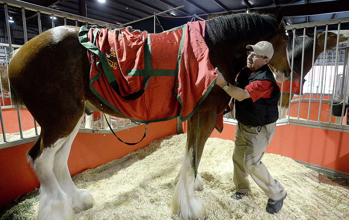 Bob Lewkow, who has been a member of the traveling Budweiser Clydesdales for 25 years, blankets the horses for the night at their temporary stalls near Procter Street in Port Arthur Tuesday night. The 10-member draft horse team is once again joining in the Mardi Gras of Southeast Texas festivities. The Clydesdales will make an appearance in Beaumont Wednesday at 3 p.m. at the Event Centre. Families will be able to get a closer view of the famous horses, which make appearances at events throughout the country. The geldings begin their careers as part of the cart-pulling team at about age 4 and typically remain active for 10 years. Photo taken Tuesday, February 6, 2018 Kim Brent/The Enterprise