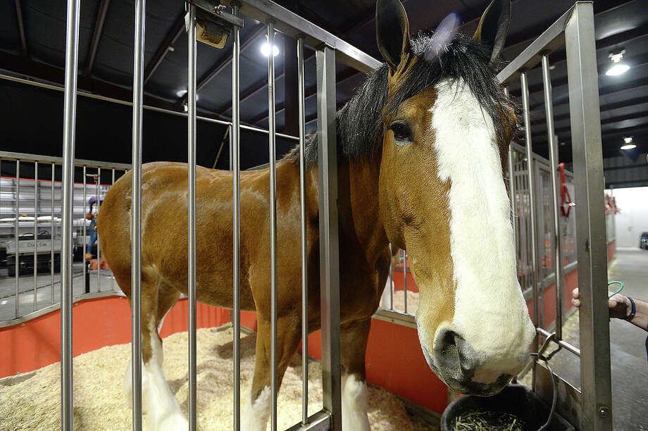 A member of the Budweiser Clydesdales team peers out from his temporary stall near Procter Street in Port Arthur Tuesday night. The 10-member draft horse team is once again joining in the Mardi Gras of Southeast Texas festivities. The Clydesdales will make an appearance in Beaumont Wednesday at 3 p.m. at the Event Centre. Families will be able to get a closer view of the famous horses, which make appearances at events throughout the country.  The geldings begin their careers as part of the cart-pulling team at about age 4 and typically remain active for 10 years.  Photo taken Tuesday, February 6, 2018 Kim Brent/The Enterprise Photo: Kim Brent / BEN