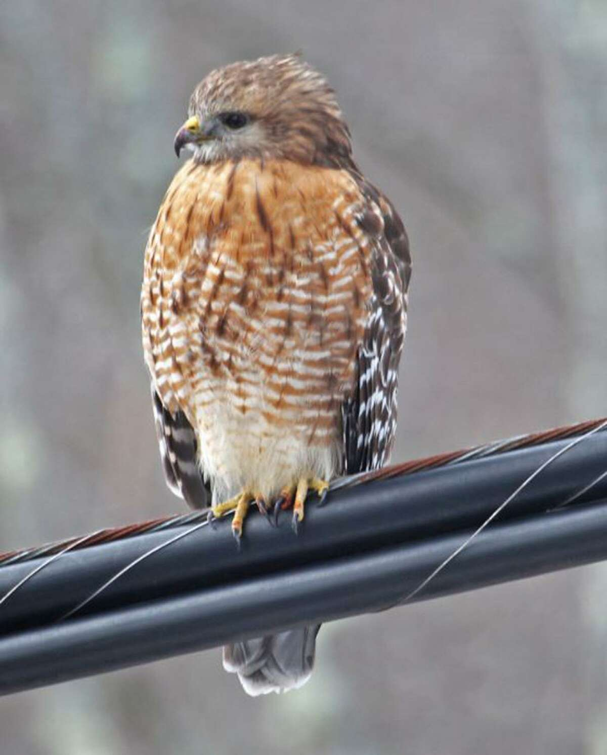 A red-shouldered hawk rests on a wire in New England this winter.