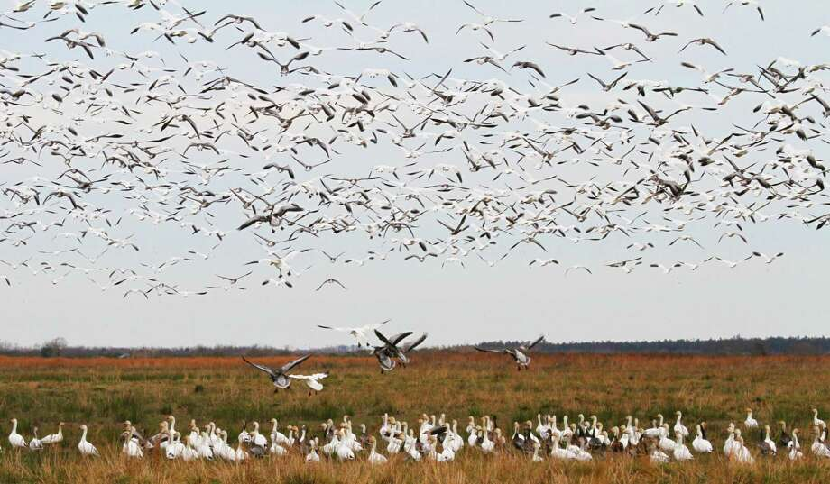 "The number of snow geese wintering on the Texas coast continues declining as the birds shift wintering areas to the north. This year's mid-winter waterfowl survey counted fewer than 200,000 ""light"" geese, more than 90 percent below the long-term average. Photo: Shannon Tompkins"