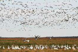 "The number of snow geese wintering on the Texas coast continues declining as the birds shift wintering areas to the north. This year's mid-winter waterfowl survey counted fewer than 200,000 ""light"" geese, more than 90 percent below the long-term average."