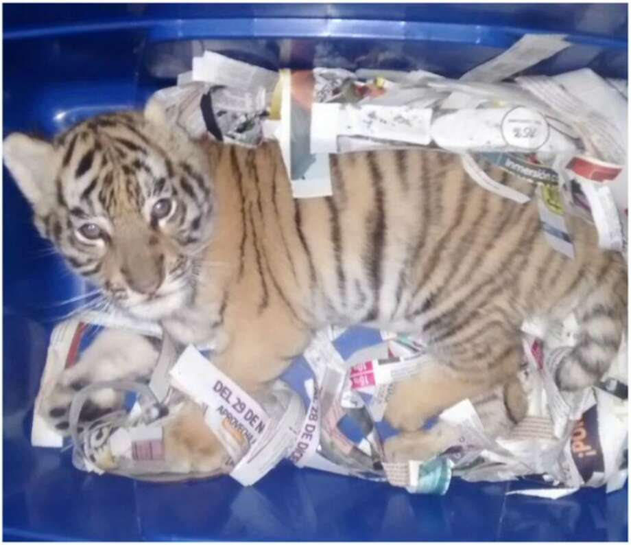 The office for environmental protection in Mexico discovered aBengal tiger that was discoveredby parcel service. Photo: Policía Federal Mexico