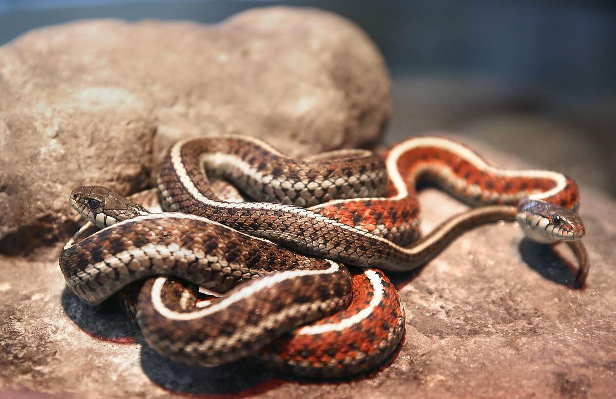 Garter snakes displayed in the Wild in California animal exhibit at Randall Museum on Tuesday, February 6, 2018, in San Francisco, Ca.