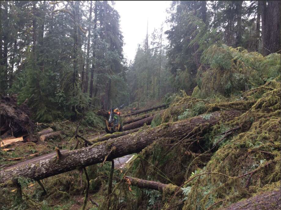 Photos from the Olympic National Park's Bill Baccus show parts of the 100-plus trees downed Jan. 27 near Lake Quinault in the strange weather event. Photo: Olympic National Park